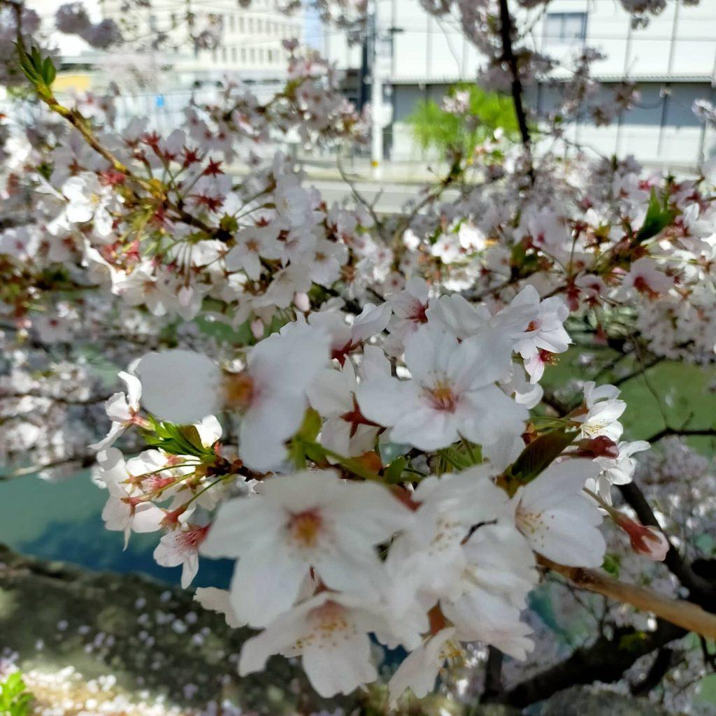 桜を間近に