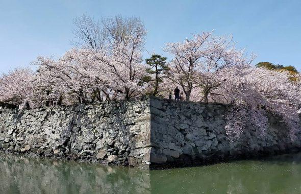 徳島中央公園の桜